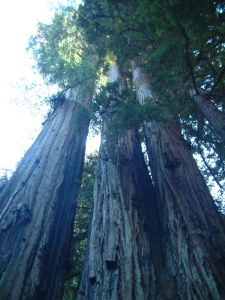 The redwood trees of Big Basin State Park