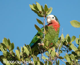 Rose-throated-Parrot-2