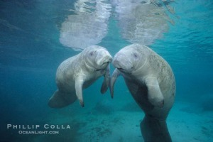 west-indian-manatee-picture-02629-293659